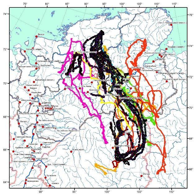 Треки диких северных оленей таймырской популяции, помеченных радиомаяками